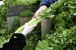 Image: Celery
