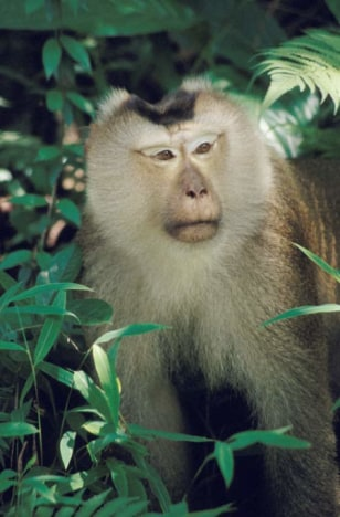 Image: Adult male pigtailed macaque photographed in Thailand.