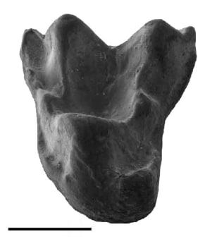 Image: Primate tooth
