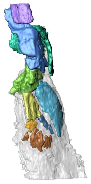 Image: 3D reconstruction of the fin endoskeleton