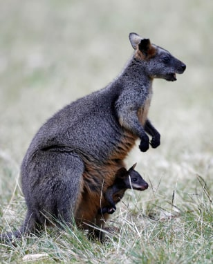 Image:Wallaby
