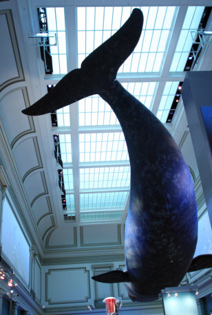 Image: A North Atlantic right whale model