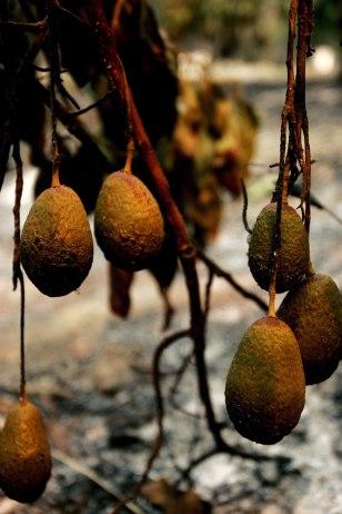 Image: Burned avocado trees.