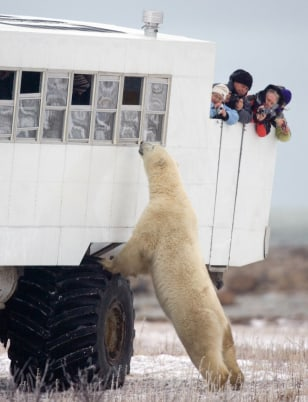 Image: A polar bear looks in the window of a tundra buggy as tourists photograph him near Churchill, Manitoba, Canada.