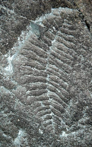 Image: A 565-million-year-old fossil from Newfoundland, Canada known as Fractofusus andersoni.