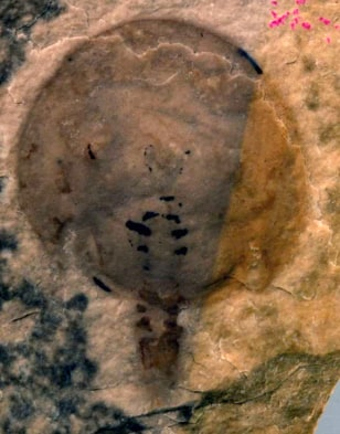 Image: Fossil of the new genus of horseshoe crab