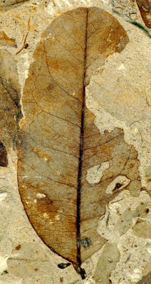 Image: Leaf fossil