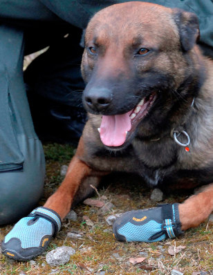 Image: A police dog with foot protection