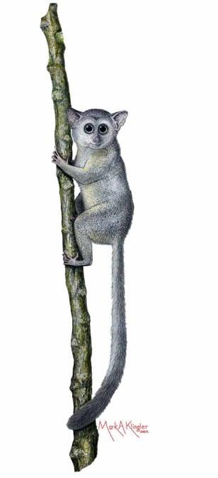 Image: Pint-sized primate, Teilhardina