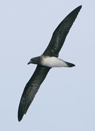 Image: An adult Beck's petrel