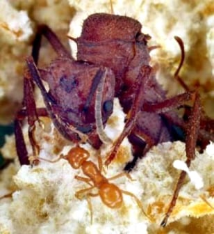 Image: Leaf cutting ant queen and worker