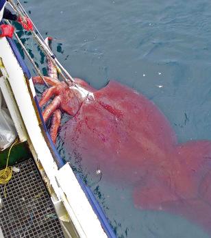 Image: Giant squid