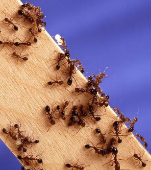 Image: Fire ants