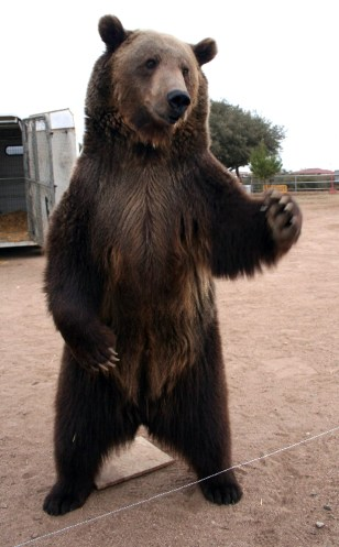 Image: Rocky the grizzly bear.