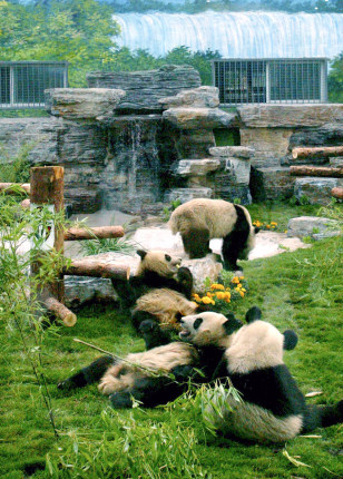 Image: Newly arrived giant pandas have a light moment at Beijing Zoo