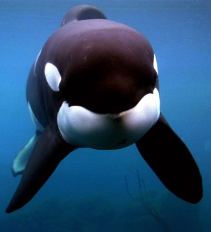 1000  images about Keiko on Pinterest | Orcas, Free Willy and ...