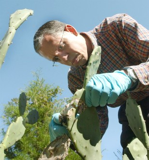 Image: Scientist checks cactus for deadly moth