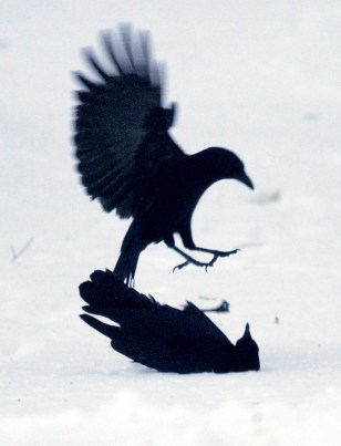 CROWS FIGHT FOR FOOD