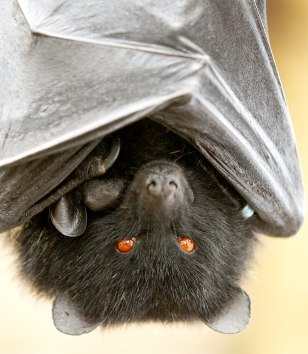 COMORO FRUIT BAT