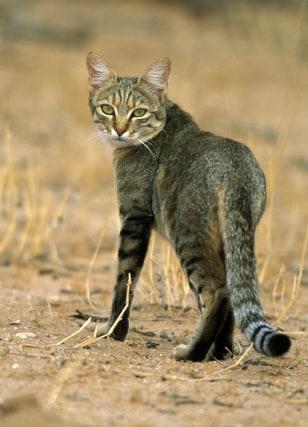 Image: African wildcat
