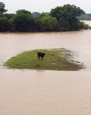 FLOOD STRANDS COW