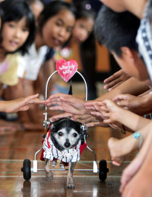 PARAPLEGIC CHIHUAHUA WILLY MAKES HIS WAY THROUGH JAPANESE SCHOOLCHILDREN IN TOKYO