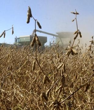 Image: Uncut soybeans