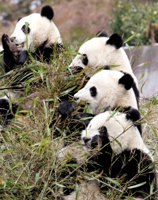 Giant pandas eat bamboo