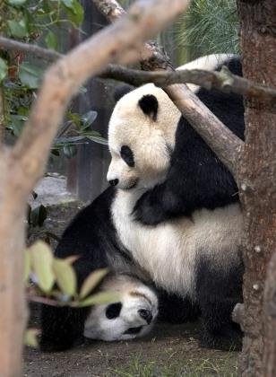 Image: San Diego pandas