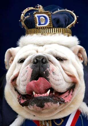 Image: Beautiful bulldog