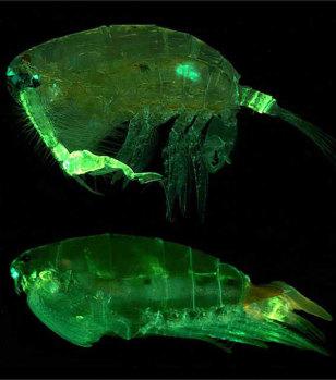 Image: Pontellid copepod