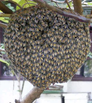 nest of Asian dwarf red honeybees