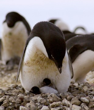 Image: Penguin and chicks