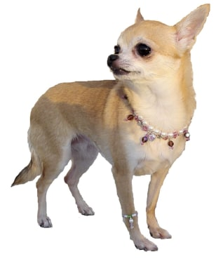 What fashionista pup could resist matching necklace and anklet accessories from the Oscar Newman Collection?