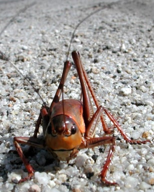 Image: Mormon cricket