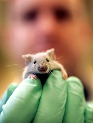Image: Laboratory mouse