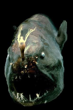 Image: Anglerfish