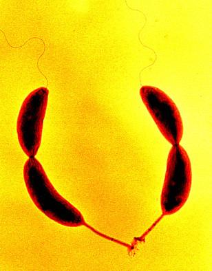 Image: C. crescentus