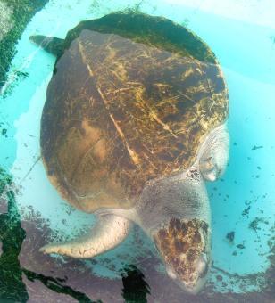 IMAGE: KEMP RIDLEY SEA TURTLE