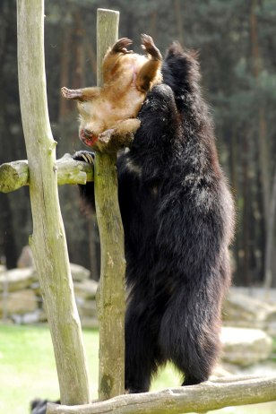 Sloth bear grabs macaque