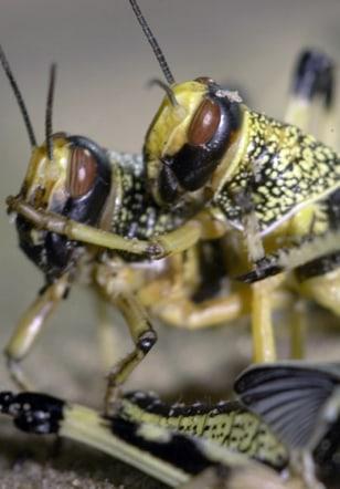 Image: Locusts