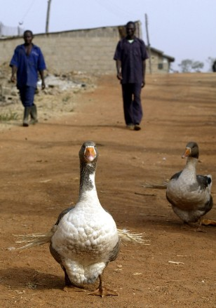 NIGERIA BIRD FLU