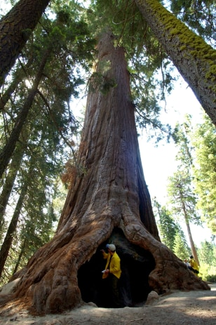 IMAGE: ANCIENT SEQUOIA