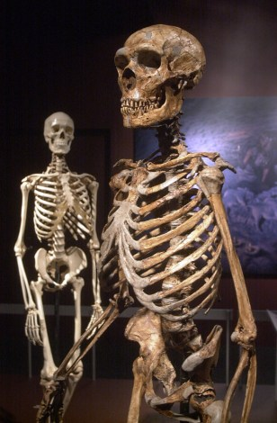 Image: Human and Neanderthal skeletons