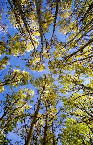 IMAGE: ASPEN TREES
