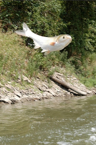 Asian carp nbc for