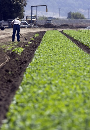 Image: Spinach field