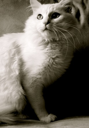 IMAGE: Allergy-free cat