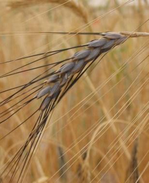 Image: Wheat