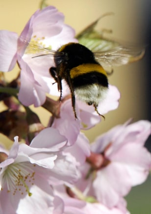 A bumblebee collects pollen of a cherry